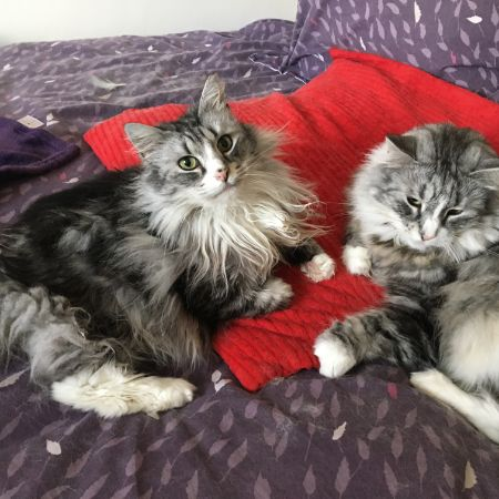 Missing Norwegian Forest Cats in Sheffield