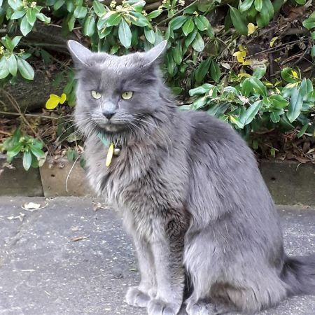 Missing Semi-Long Hair Cats in Oxted