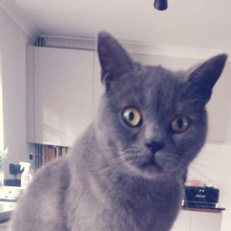 Missing British Blue Cats in Falmouth