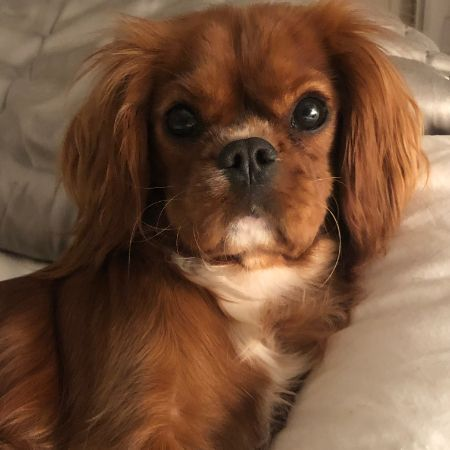 Missing Spaniel Dogs in Richmond
