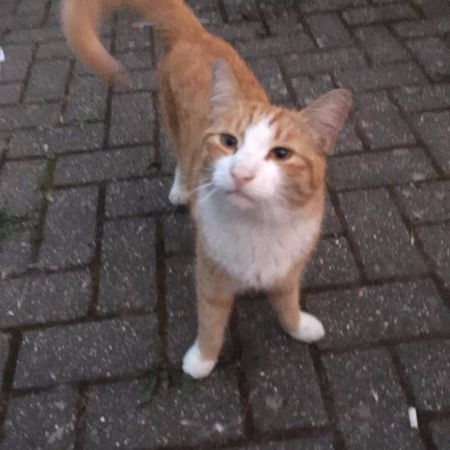 Missing Domestic Short Hair Cats in Clapton, Hackney