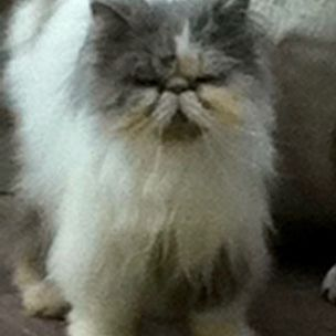 Missing Persian Cats in Copthorne Crawley