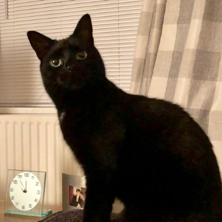 Missing British Short Hair Cats in Leeds