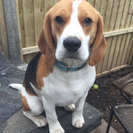 Missing Beagle Dogs in Hayes