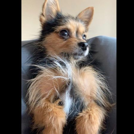Missing Chihuahua Dogs in Biddenden