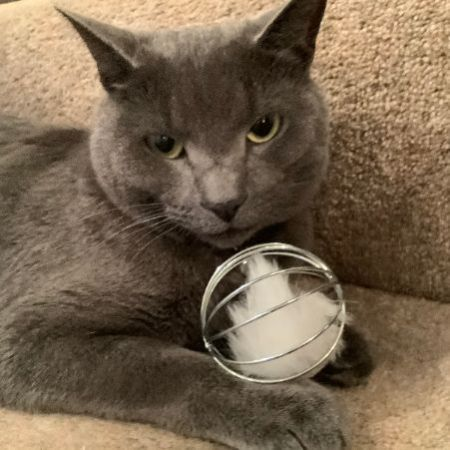Missing Russian Blue Cats in Grays