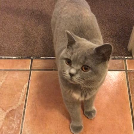 Missing British Short Hair Cats in Springfield, Chelmsford