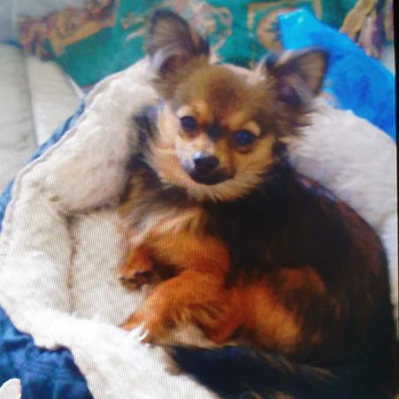Missing Chihuahua Dogs in Tilbury