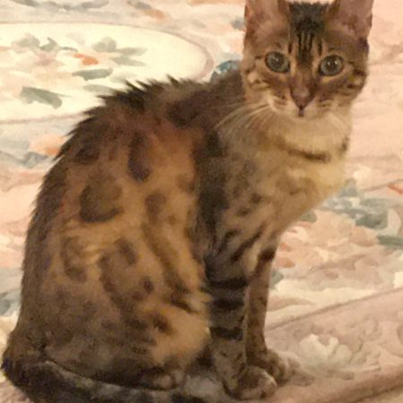 Missing Bengal Cats in Weldon