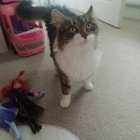 Missing Domestic Short Hair Cats in Paignton