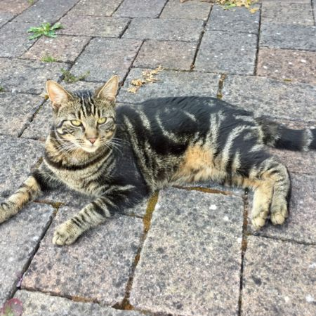 Missing Tabby Cats in Bramber