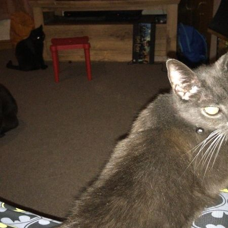 Missing Domestic Short Hair Cats in Preston