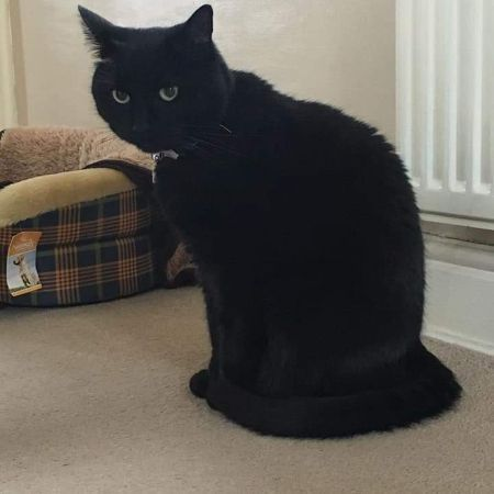 Missing Domestic Short Hair Cats in Dewsbury
