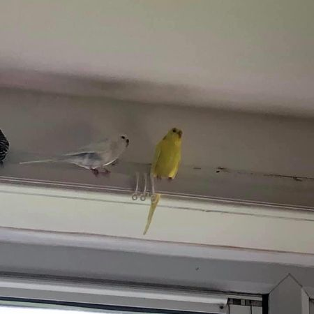 Missing Budgie Birds in Huddersfield