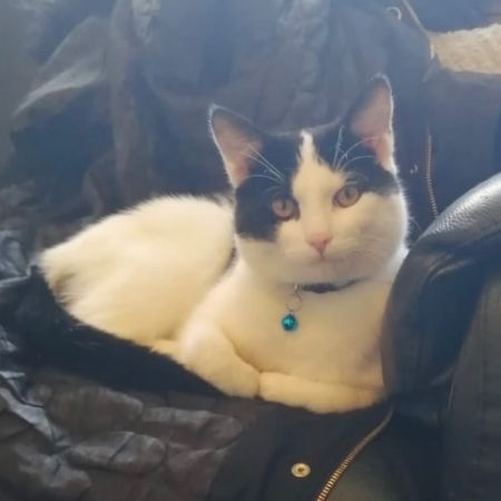 Missing Domestic Short Hair Cats in Tividale