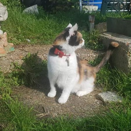 Missing Domestic Short Hair Cats in Folkestone