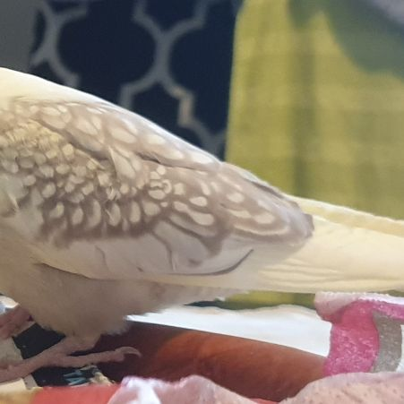 Missing Cockatiel Birds in Southampton