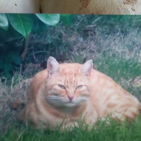 Missing Domestic Short Hair Cats in Sutton Coldfiled