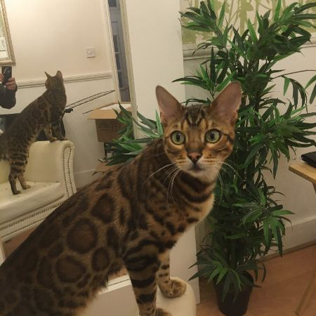 Missing Bengal Cats in Croydon