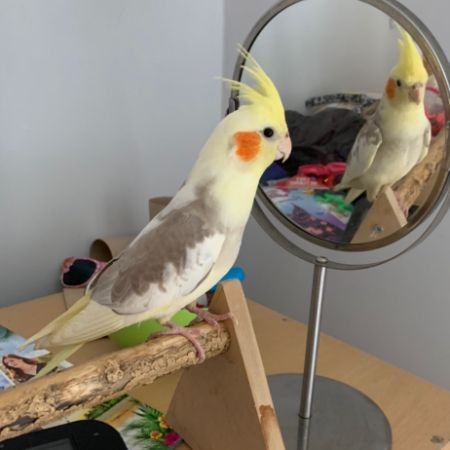 Missing Cockatiel Birds in Wakefield
