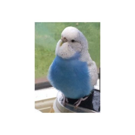 Missing Budgie Birds in Swindon