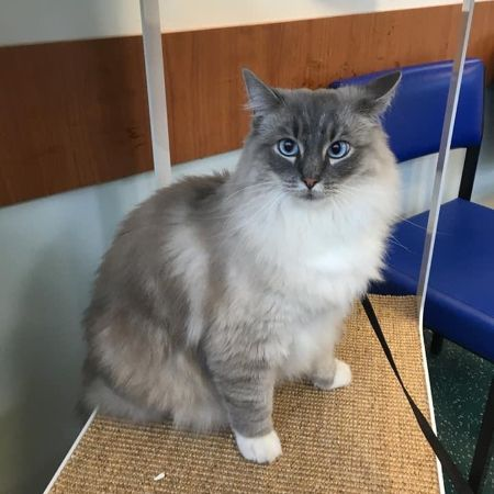 Missing Ragdoll Cats in Stanley