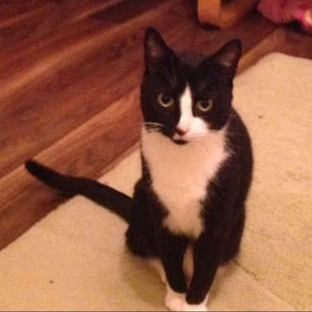 Missing Domestic Short Hair Cats in Orpington