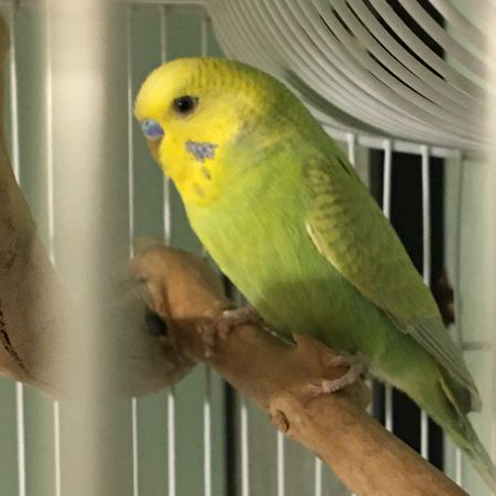 Missing Budgie Birds in Haslingden