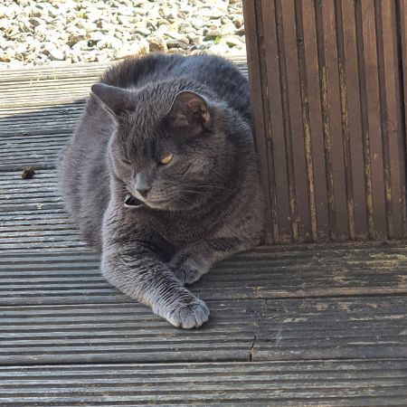 Missing British Short Hair Cats in Whitburn