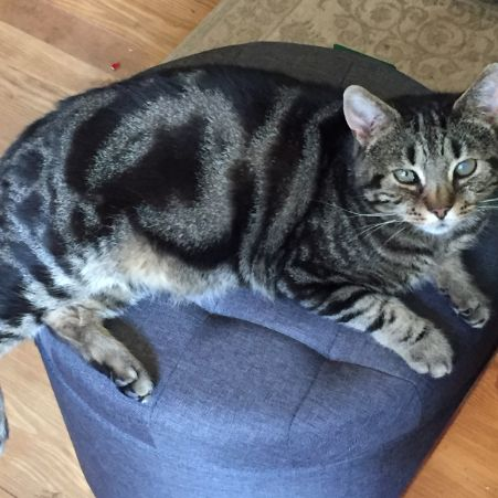 Missing Domestic Short Hair Cats in Catford