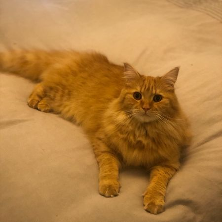 Missing Maine Coon Cats in Eskbank