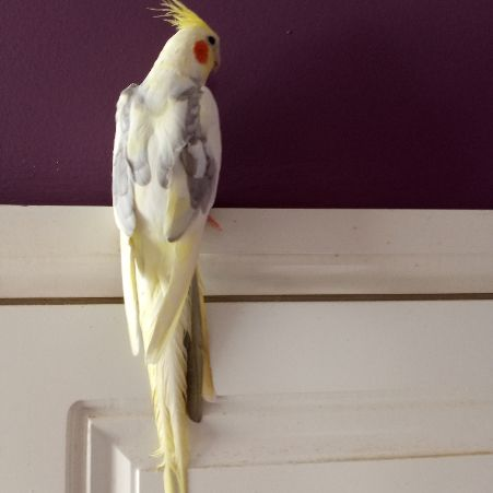 Missing Cockatiel Birds in Shoeburyness