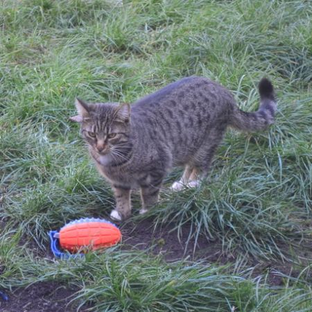 Missing British Short Hair Cats in Ashtead