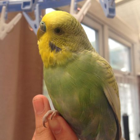 Missing Budgie Birds in Coventry