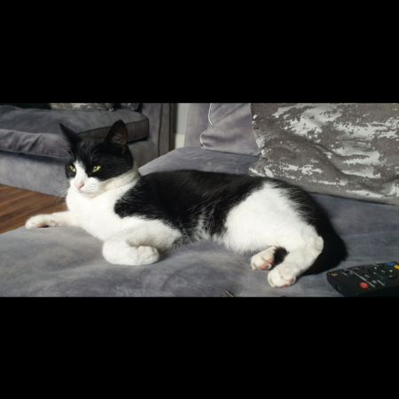 Missing British Short Hair Cats in London - Penge
