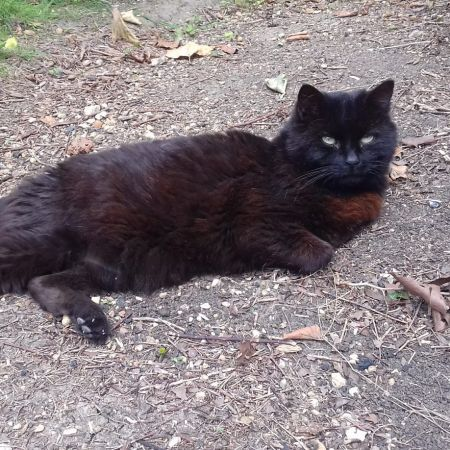 Missing Domestic Short Hair Cats in Abingdon