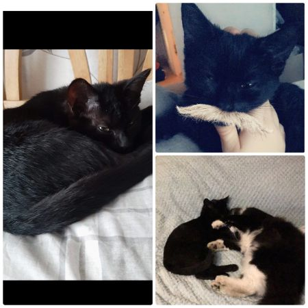 Missing Domestic Short Hair Cats in Coventry