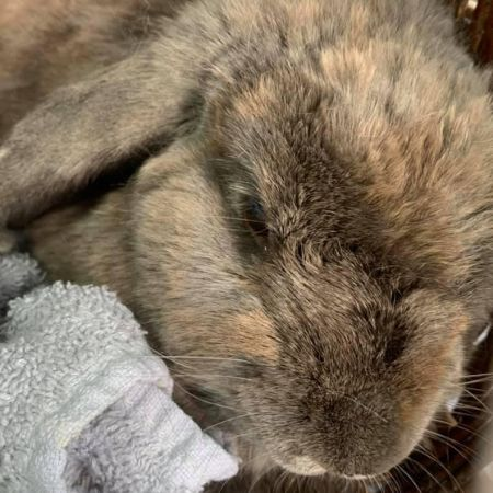 Missing Lop Eared Rabbits in St. Helens