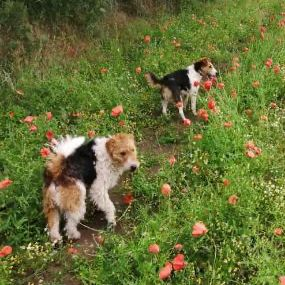 Missing Terrier Dogs in Shareshill