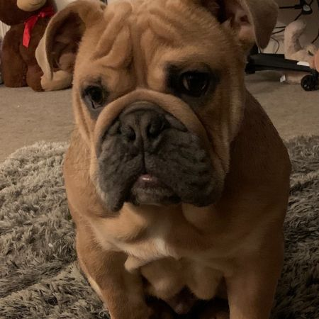 Missing Bulldog Dogs in Barford