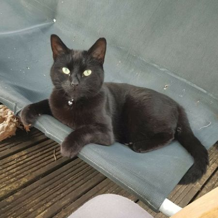 Missing Domestic Short Hair Cats in Swindon