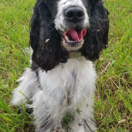 Missing Spaniel Dogs in Takeley