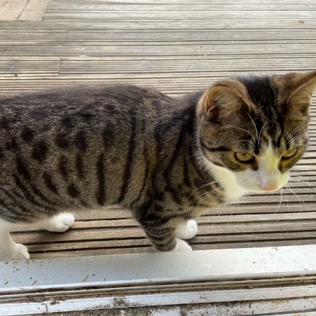 Missing Tabby Cats in Shenfield