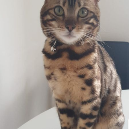 Missing Bengal Cats in Woodford
