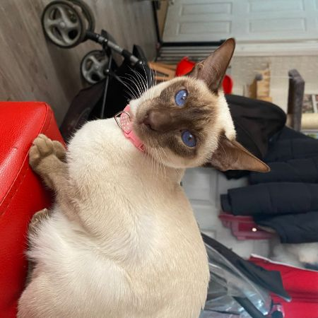 Missing Siamese Cats in New Moston