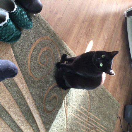 Missing Domestic Short Hair Cats in Bessacarr